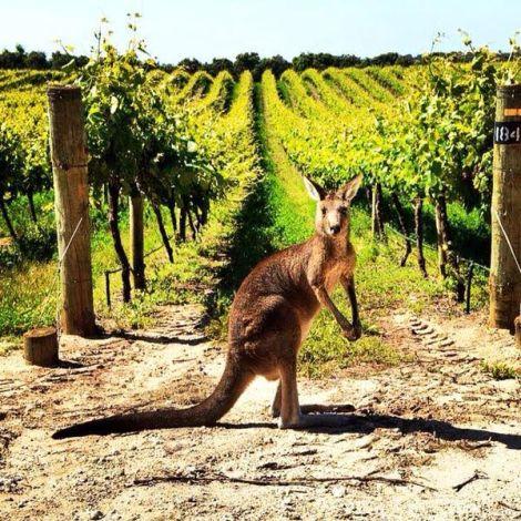canguro en viñedos
